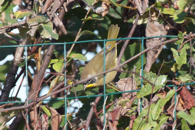 common-yellowthroat_0