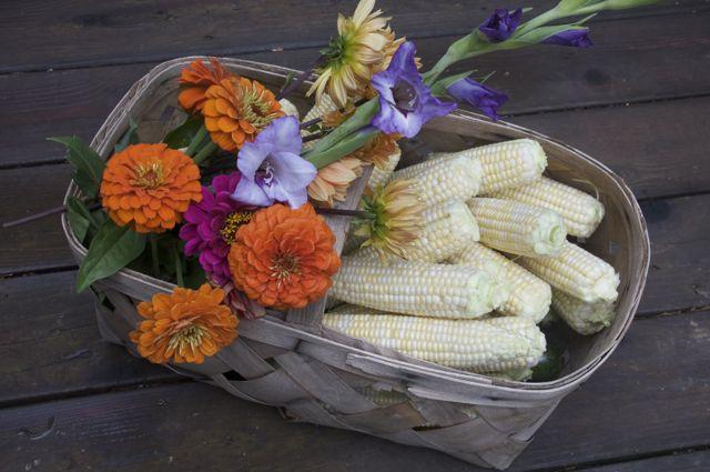 corn-harvest_0