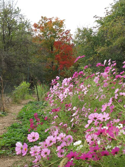 cosmos-and-sugar-maple