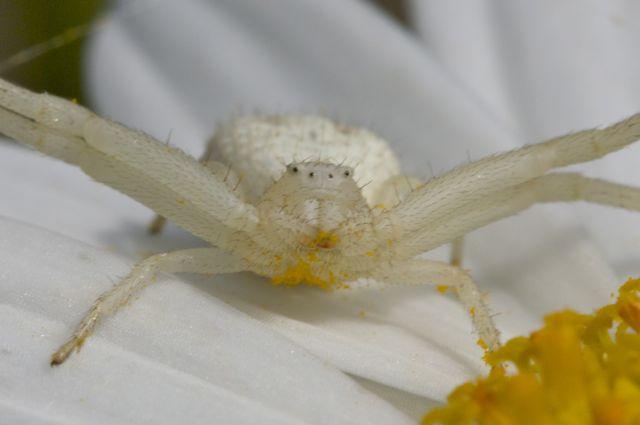 crab-spider-2
