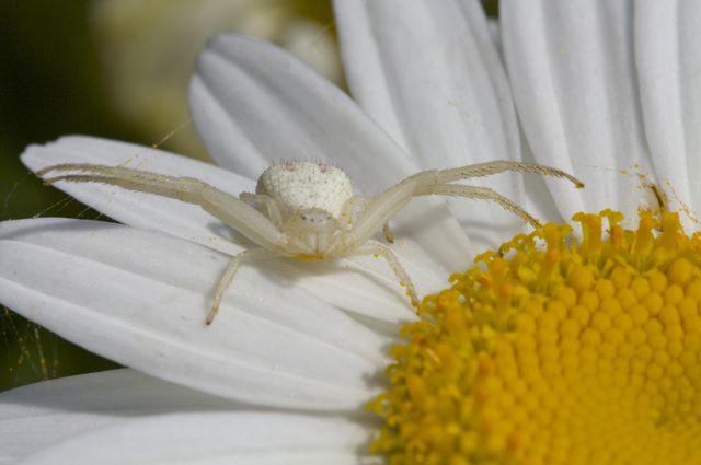 crab-spider-misumena-vatia
