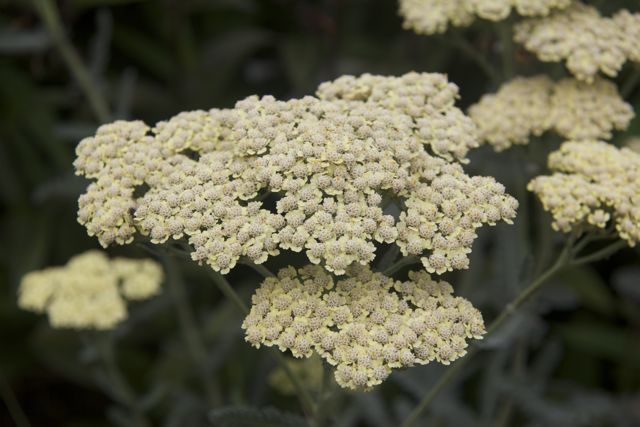 cream-colored-yarrow