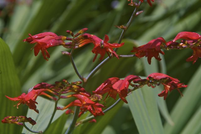 crocosmia-in-bloom