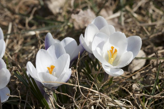crocus-multiplying