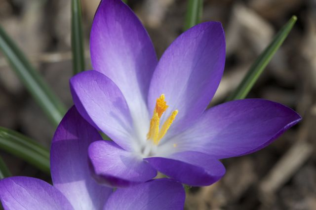 crocus-vernus-twilight