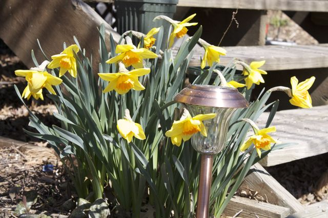 daffodils-by-the-back-deck