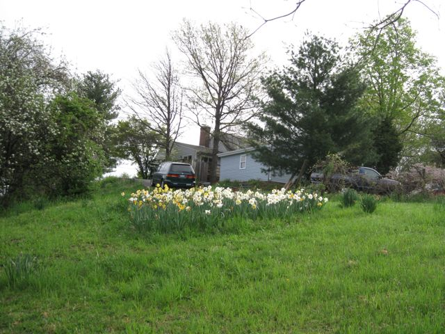 daffodils-on-hillside