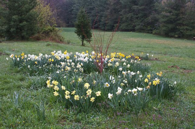 daffodils-surrounding-coral-bark-maple