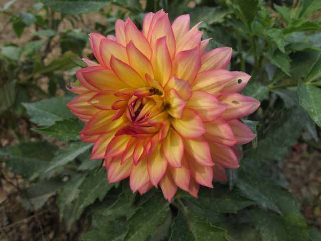 dahlia-fuschia-tinged-yellow