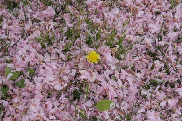 dandelion-in-pink-snow