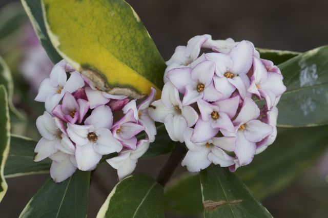 daphne-flower-clusters