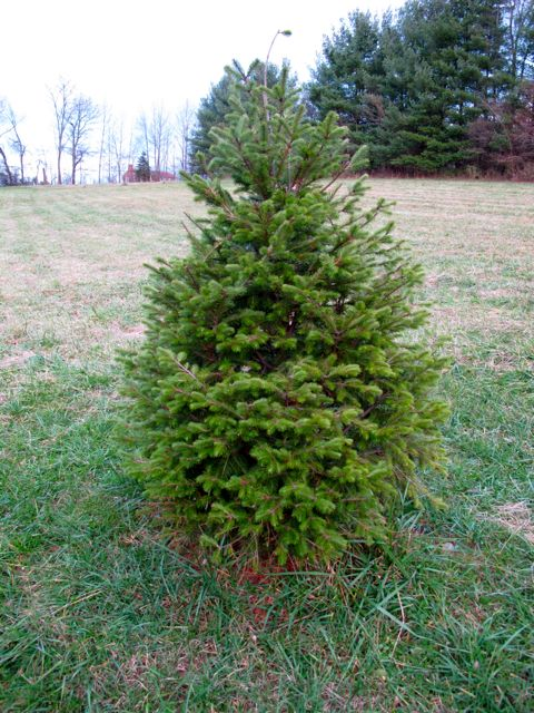 douglas-fir-2008-xmas-tree
