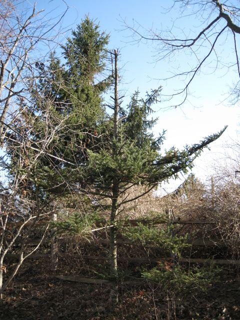 douglas-fir-front-yard