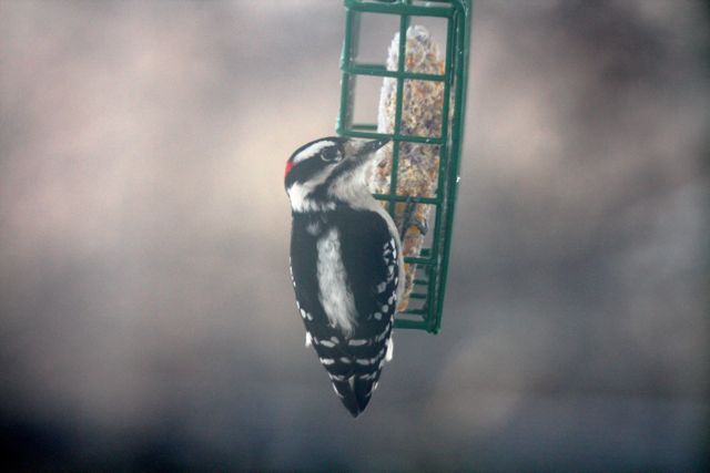 downy-woodpecker_0