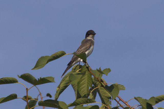 eastern-kingbird-atop-cherry_0