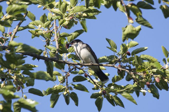 eastern-kingbird-mulberry