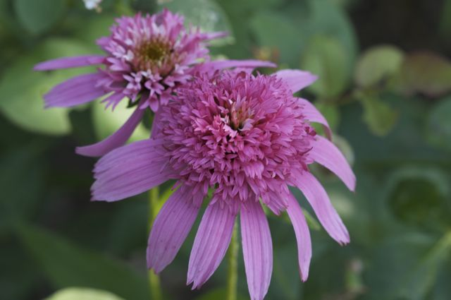 echinacea-pink-double-delight