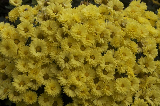 fall-chrysanthemum_0