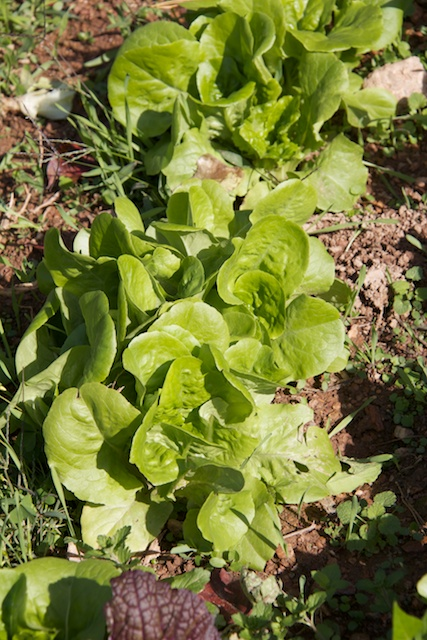 fall-lettuce_0