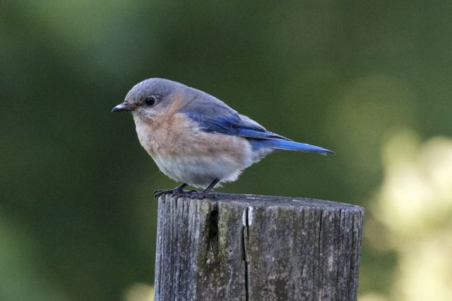 female-bluebird-10_0