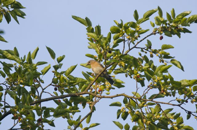 female-bluebird