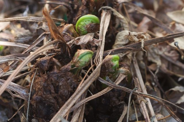 fiddleheads-emerging