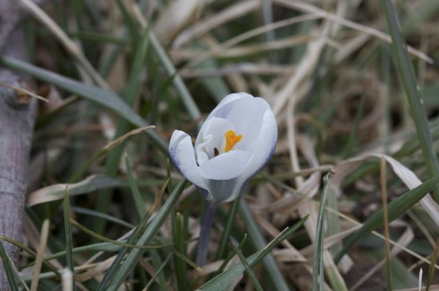 first-crocus