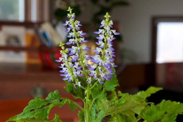 flowering-coleus