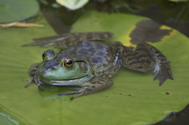frog-on-a-lilypad