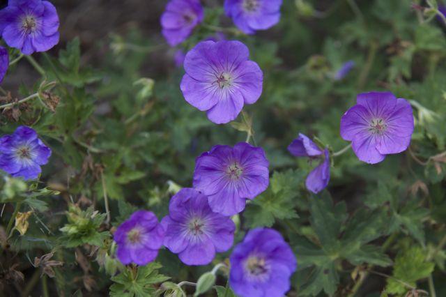 geranium-rozanne_0
