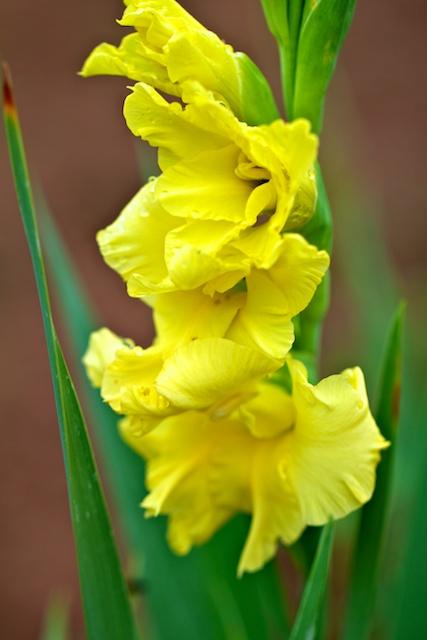 gladiolus-remnant
