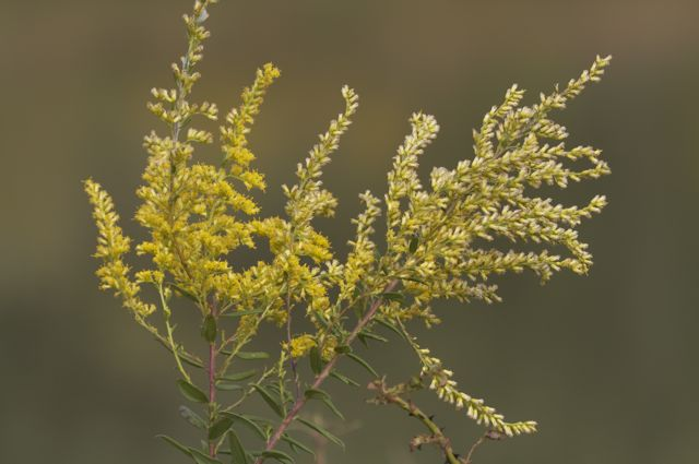 goldenrod-at-lilypons