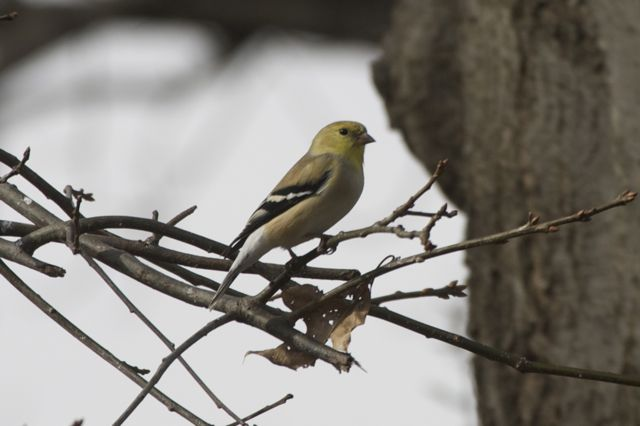 goldfinch-in-january