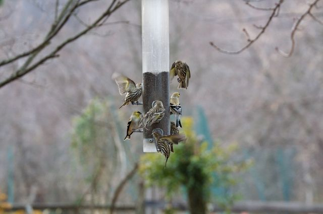 goldfinches-1