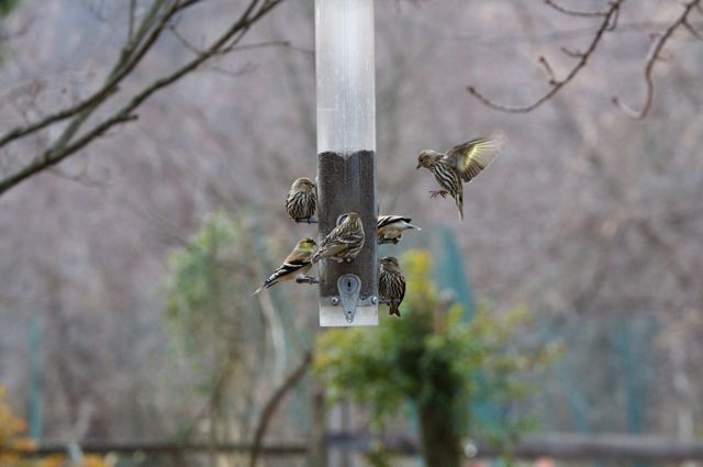 goldfinches-2