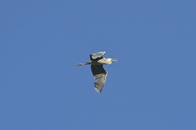 great-blue-heron-3_0