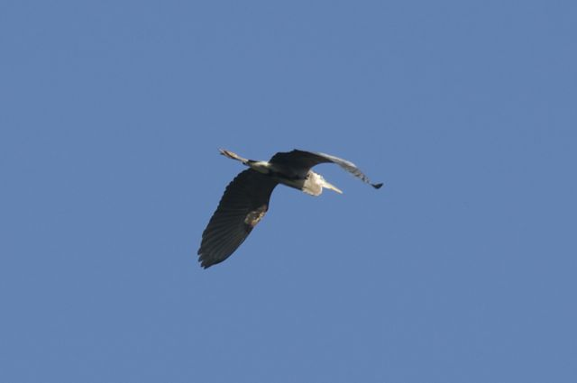 great-blue-heron-wingspan