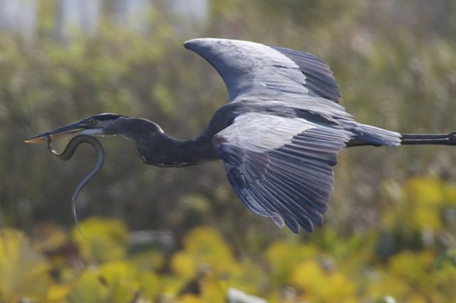 great-blue-heron-with-snake