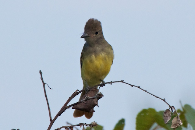 great-crested-flycatcher-with-crest