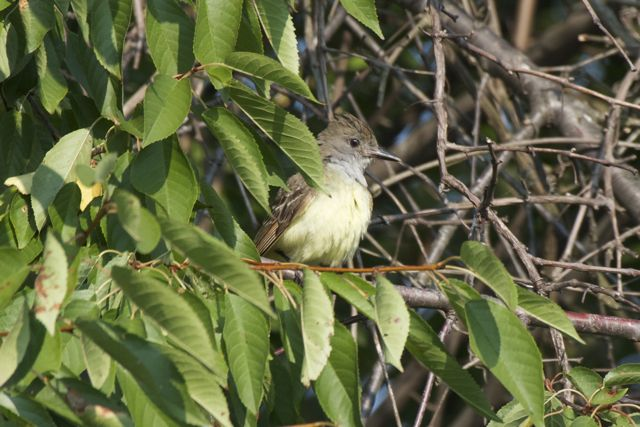 great-crested-flycatcher-youngster