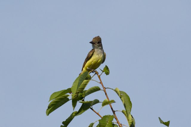 great-crested-flycatcher_0