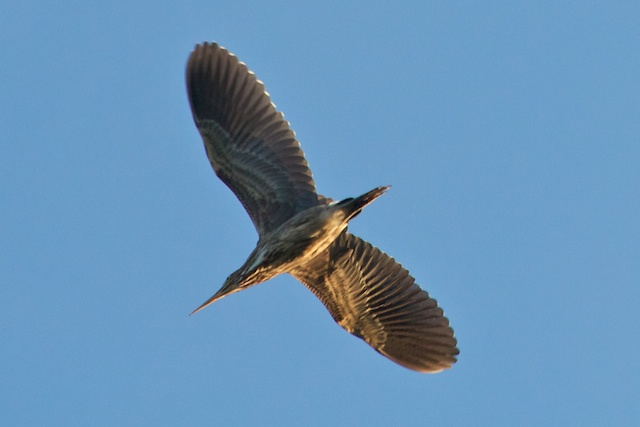 green-heron-from-below
