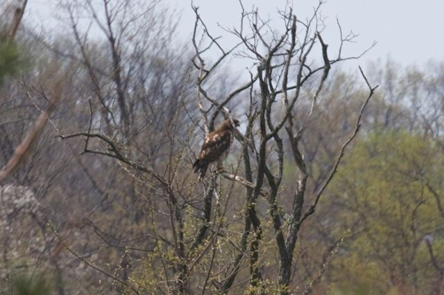 hawk-on-the-locust-tree