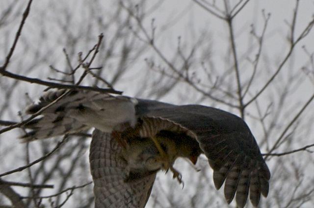 hawk-with-cardinal_0