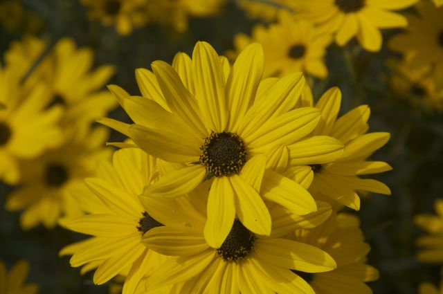 helianthus-salicifolius-first-light_0