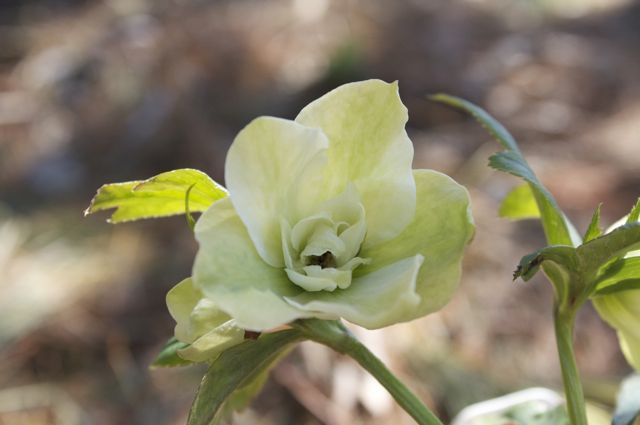 helleborus-betty-rancor-seedling