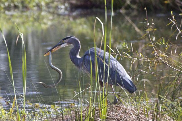 heron-eating-snake-2