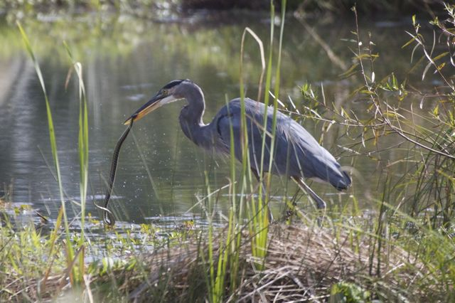 heron-eating-snake