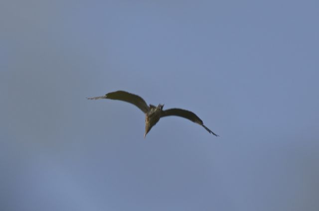 heron-flying-away