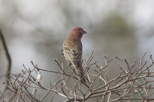 house-finch-in-january